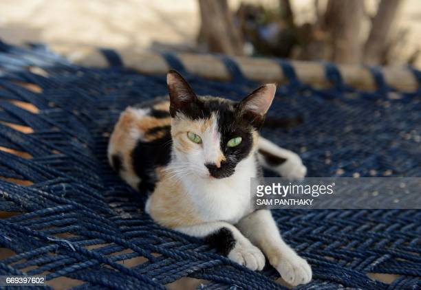 This photograph taken on April 7 shows an Indian cat lying on a traditional cot of a salt pan worker in the Little Rann of Kutch some 180 kms from...