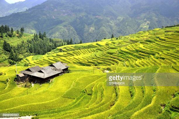 This photograph taken on August 25 2016 shows a general view of paddy fields at Dangniu village in Congjiang county south China's Guizhou province /...