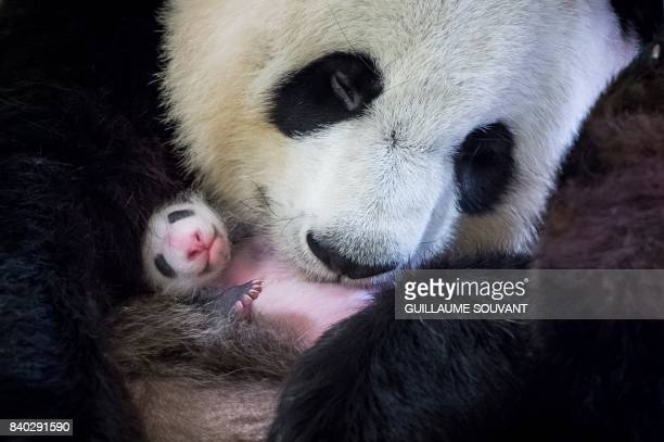 This photograph taken on August 28 shows female panda Huan Huan holding her cub inside her enclosure at The Beauval Zoo in SaintAignansurCher central...