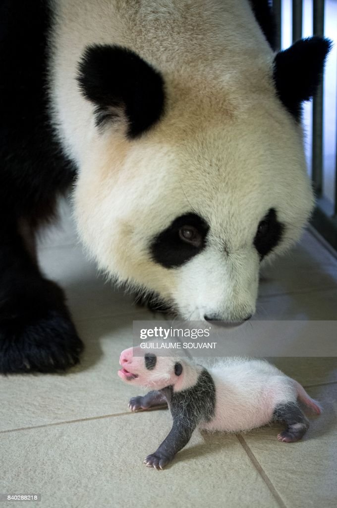 This photograph taken on August 28, 2017, shows female panda Huan Huan with her cub inside her enclosure at The Beauval Zoo in Saint-Aignan-sur-Cher, central France. Female panda gave birth to twins on August 4, 2017, but one died soon afterwards. Nine-year-old Huan Huan and her male partner Yuan Zi arrived at Beauval zoo in January 2012 on a 10-year loan from China after intense, high-level negotiations between Paris and Beijing. Huan Huan (meaning 'happy') and Yuan Zi ('chubby') are the only giant pandas living in France. Nine-year-old Huan Huan and her male partner Yuan Zi arrived at Beauval zoo in January 2012 on a 10-year loan from China after intense negotiations between Paris and Beijing. Breeding pandas is notoriously difficult and this is the first time a cub has been born in France. SOUVANT