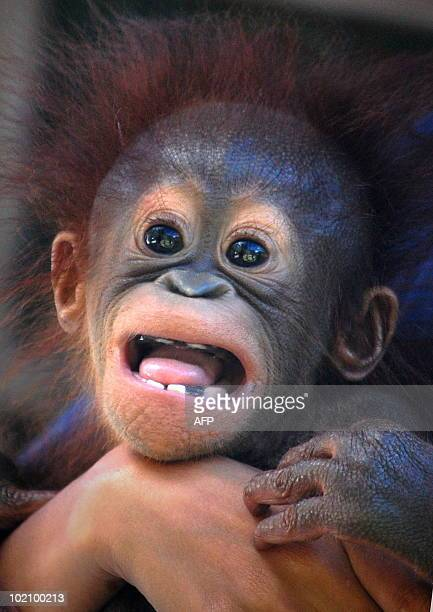 This photograph taken on June 14 2010 shows rescued four month old baby orangutan named Opet under rehabilitation at the Orangutan Care Center and...