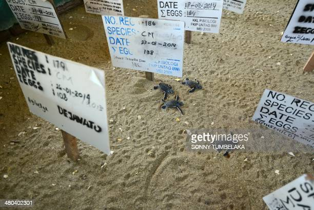 This photograph taken on March 23 2014 shows newlyborn green turtles in the hatching area at the turtle sanctuary on Sukamade island in Banyuwangi...