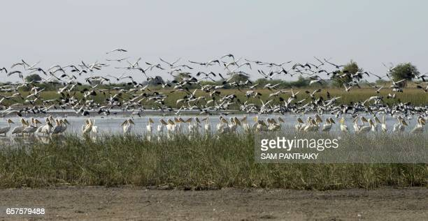 This photograph taken on March 24 shows migratory Pelicans as they take off from shallow water at Vadla Dam in the vicinity of Nalsarovar Bird...