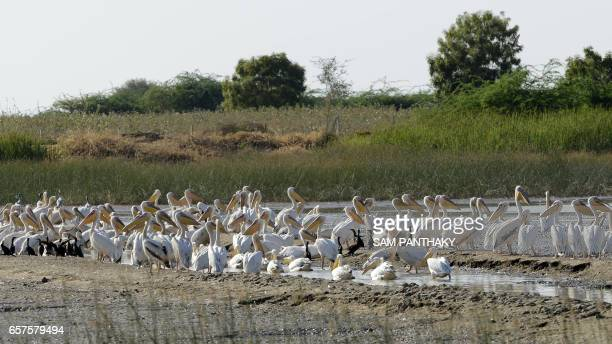 This photograph taken on March 24 shows migratory Pelicans as they sit in shallow water at Vadla Dam in the vicinity of Nalsarovar Bird Sanctuary...