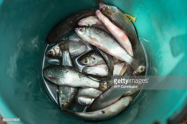This photograph taken on May 20 2017 shows fresh fish caught from a lotus lake is kept in a bucket in the northeastern Thai province of Khon Kaen...