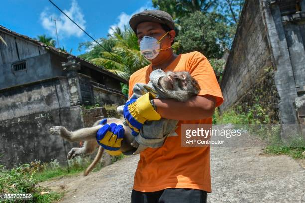 This photograph taken on September 29 2017 shows an NGO worker carrying a sick monkey after they sedated and prepared to evacuate it from a...