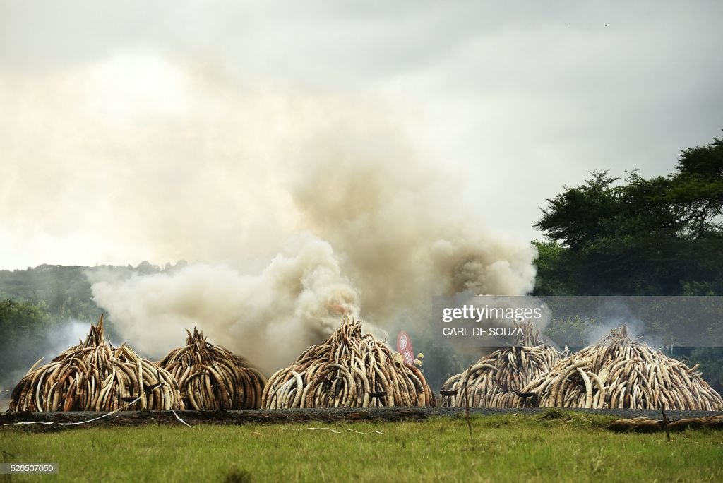 This picture show stacks of Ivory burning at the Nairobi National Park on April 30, 2016. Kenyan President Uhuru Kenyatta set fire on April 30, 2016, to the world's biggest ivory bonfire, after demanding a total ban on trade in tusks and horns to end 'murderous' trafficking and prevent the extinction of elephants in the wild. / AFP / CARL