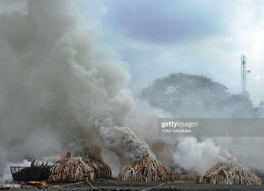 This picture shows burning stockpiles of elephant tusks and rhinoceros horns at the Nairobi National Park on April 30, 2016. Kenyan President Uhuru Kenyatta set fire on April 30, 2016, to the world's biggest ivory bonfire, after demanding a total ban on trade in tusks and horns to end 'murderous' trafficking and prevent the extinction of elephants in the wild. / AFP / TONY