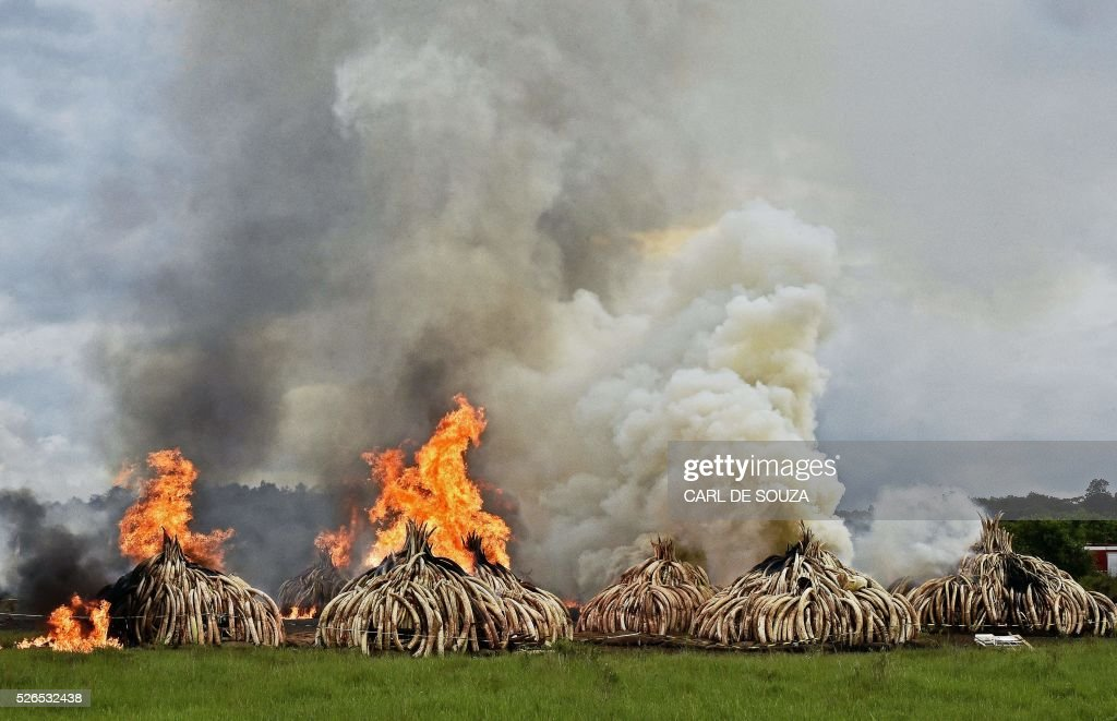 This picture shows eleven burning stacks of elephant tusks ivory and rhinoceros horns at the Nairobi National Park on April 30, 2016. Kenyan President Uhuru Kenyatta set fire on April 30, 2016, to the world's biggest ivory bonfire, after demanding a total ban on trade in tusks and horns to end 'murderous' trafficking and prevent the extinction of elephants in the wild. / AFP / CARL