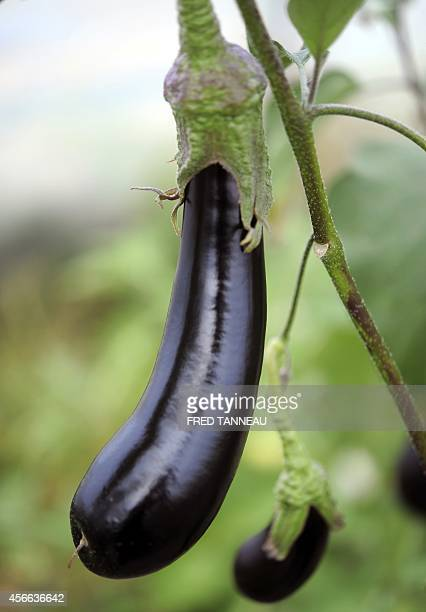 This picture shows home grown organic Barbentane aubergine on September 9 2014 in Plouescat western of France AFP PHOTO / FRED TANNEAU