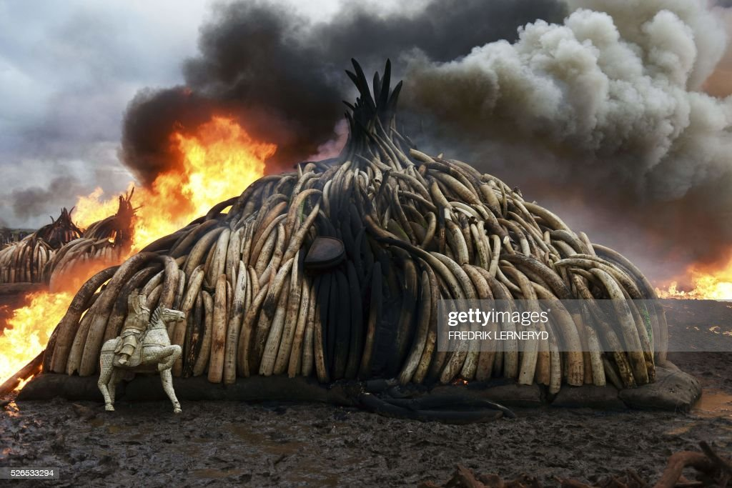 This picture shows one stack of burning elephant tusks, ivory figurines and rhinoceros horns at the Nairobi National Park on April 30, 2016. Kenyan President Uhuru Kenyatta set fire on April 30, 2016, to the world's biggest ivory bonfire, after demanding a total ban on trade in tusks and horns to end 'murderous' trafficking and prevent the extinction of elephants in the wild. / AFP / FREDRIK