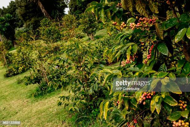 This picture shows some coffee plants of the small Farm's Lodge coffee plantation on October 19 2017 in the British Overseas Territory of Saint...