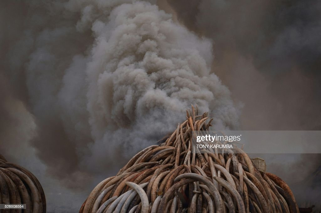 This picture shows stacks of ivory and rhinoceros horns burning at the Nairobi National Park on April 30, 2016. Kenyan President Uhuru Kenyatta set fire on April 30, 2016, to the world's biggest ivory bonfire, after demanding a total ban on trade in tusks and horns to end 'murderous' trafficking and prevent the extinction of elephants in the wild. / AFP / Tony KARUMBA