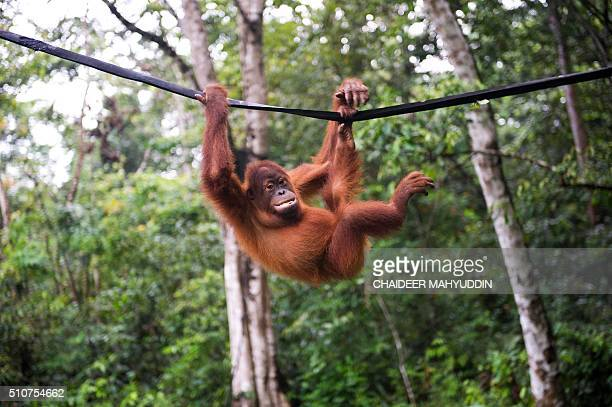 This picture taken in Jantho Aceh province on February 16 2016 shows an orangutan playing on a rope in Jantho Conservation area Sumatran Orangutan...