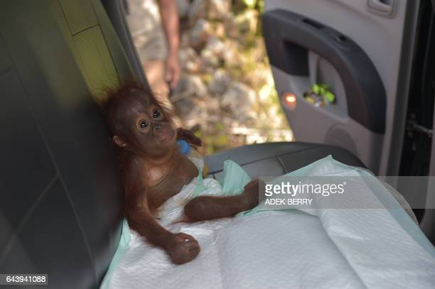 This picture taken in Kendawangan West Kalimantan on Borneo island on February 14 2017 shows Vena a sevenmonthold baby orangutan sitting in a car...