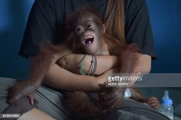 This picture taken in Kendawangan West Kalimantan on Borneo island on February 14 2017 shows orangutan keeper Devi Sumantri holding Vena a...