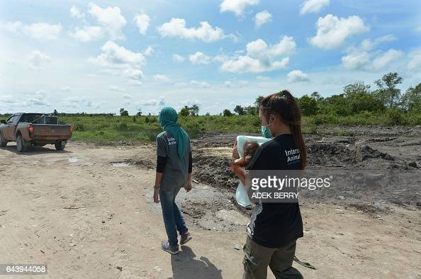 This picture taken in Kendawangan West Kalimantan on Borneo island on February 14 2017 shows veterinarian Ulfa Septiana and keeper Devi Sumantri...