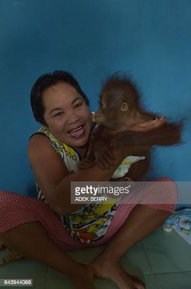 This picture taken in Kendawangan West Kalimantan on Borneo island on February 14 2017 shows Bariah holding Vena a sevenmonthold baby orangutan at...
