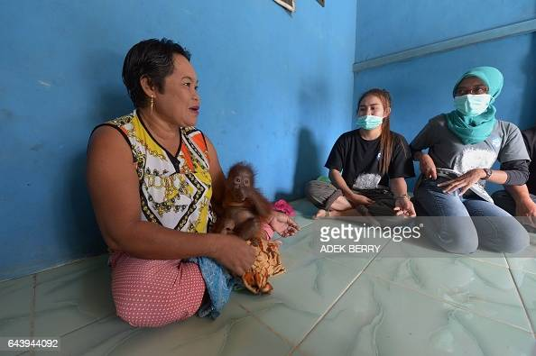 This picture taken in Kendawangan West Kalimantan on Borneo island on February 14 2017 shows Bariah holding Vena a sevenmonthold baby orangutan as...