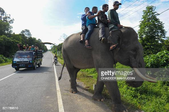This picture taken in Leuser National park South Aceh on April 16 2016 shows villagers riding on an elephant while an Indonesian mahout takes part in...