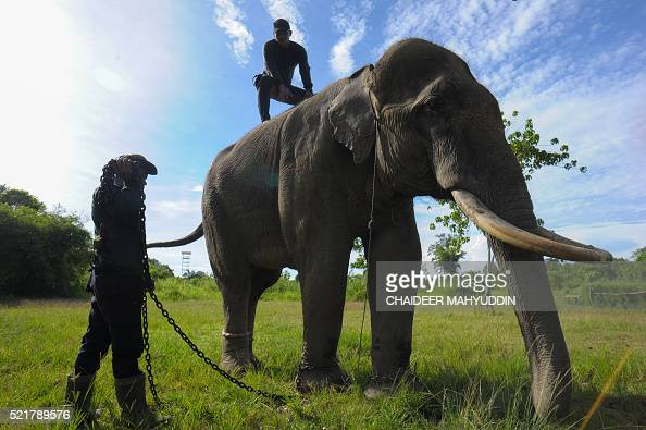 This picture taken in Leuser National park South Aceh on April 16 2016 shows Indonesian mahouts training an elephant for patrol at Leuser Ecosystem...