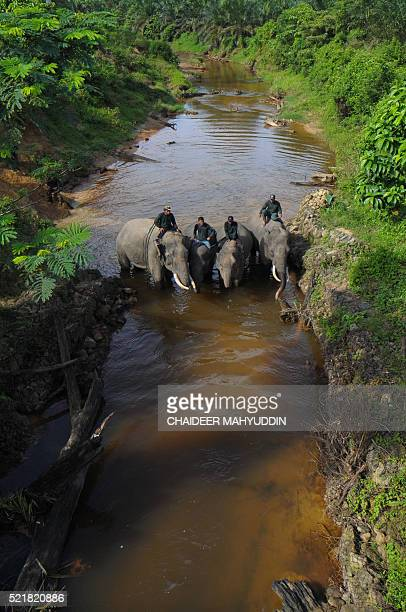 This picture taken in Leuser National park South Aceh on April 16 2016 shows Indonesian mahouts and elephants resting while conducting a patrol along...