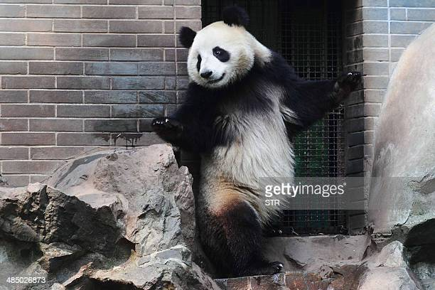 This picture taken on April 14 2014 shows a giant panda playing in its enclosure at Hangzhou Zoo in Hangzhou in eastern China's Zhejiang province...