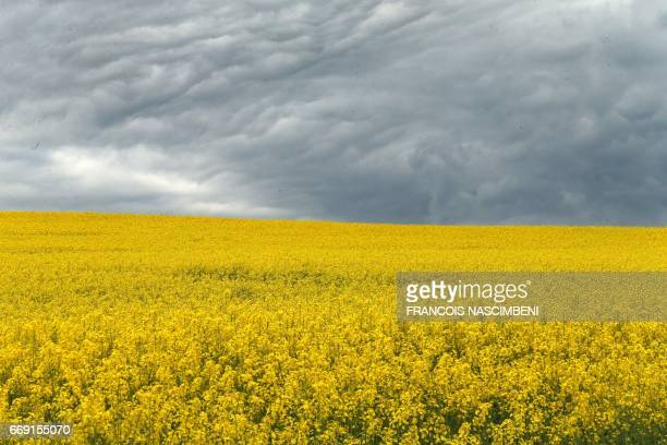 This picture taken on April 16 shows a rape field on the site of the Chemin des Dames battle on the day of its 100th anniversary in Craonnelle north...