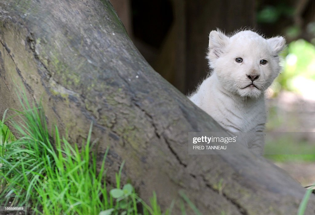This picture taken on April 18, 2013 shows a white lion cub in his pen at the Pont-Scroff's zoo in Pont-Scorff, western France. Three lion cubs, two males and a female, were born on February 23 and were shown for the first time to the public on April 17.