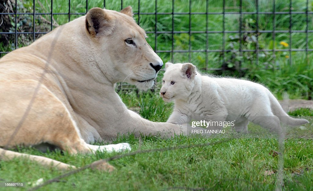 This picture taken on April 18, 2013 shows a white lion cub in his pen with his mother Sweleka (L) at the Pont-Scroff's zoo in Pont-Scorff, western France, on April 18, 2013. Three lion cubs, two males and a female, were born on February 23 and were shown for the first time to the public on April 17.