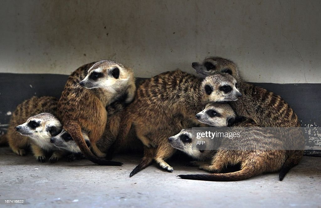 This picture taken on April 24, 2013 shows meerkats (suricata suricatta) gathering in a corner of their enclosure in Changshang Ecological Zoo in Changsha, central China's Hunan province. The meerkat is a small mammal belonging to the mongoose family. Meerkats live in all parts of the Kalahari Desert in Botswana, in much of the Namib Desert in Namibia and southwestern Angola, and in South Africa. CHINA