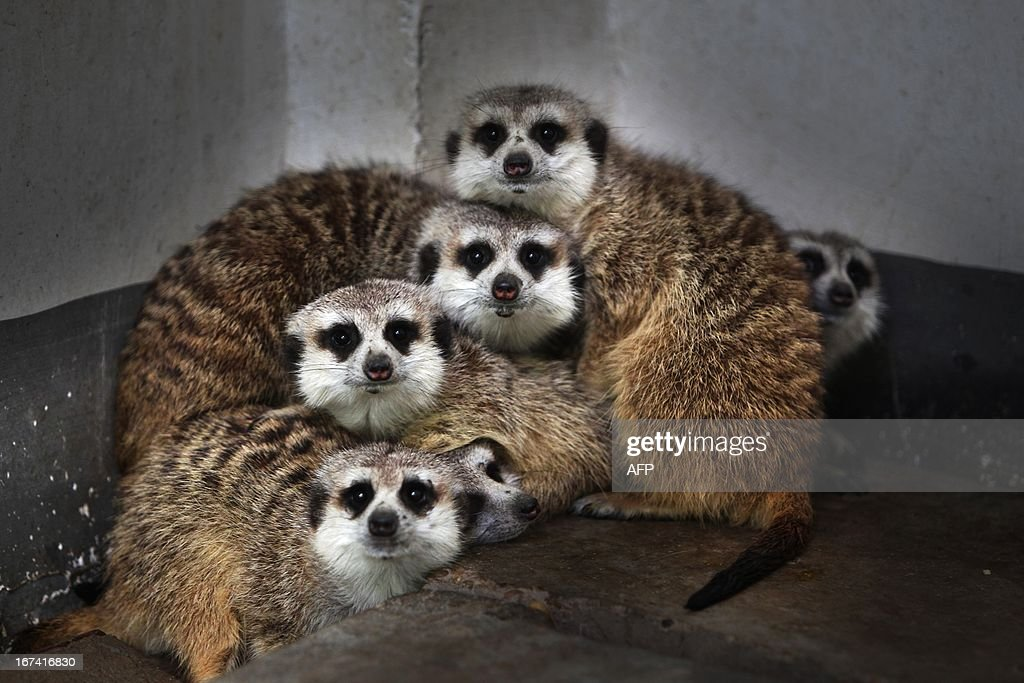 This picture taken on April 24, 2013 shows meerkats (suricata suricatta) gathering in a corner of their enclosure in Changshang Ecological Zoo in Changsha, central China's Hunan province. The meerkat is a small mammal belonging to the mongoose family. Meerkats live in all parts of the Kalahari Desert in Botswana, in much of the Namib Desert in Namibia and southwestern Angola, and in South Africa. CHINA OUT AFP PHOTO