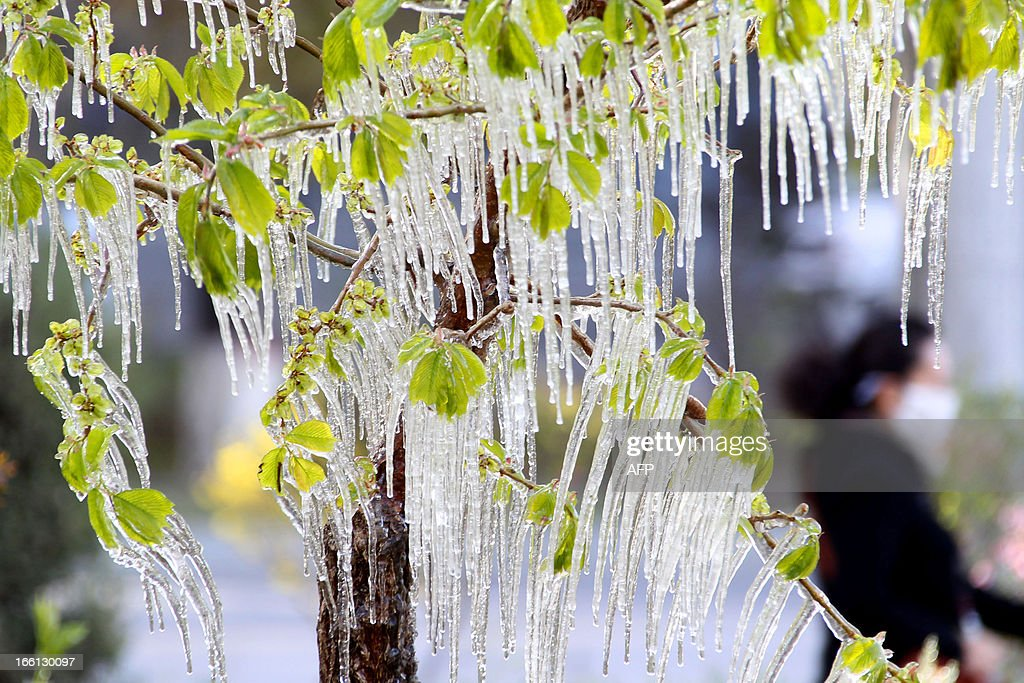 This picture taken on April 8, 2013 shows ice hanging on a tree in a garden in Hami, northwest China's Xinjiang Uygur Autonomous Region. A sharp temperature decrease has hit this area following a strong cold air. CHINA OUT AFP PHOTO