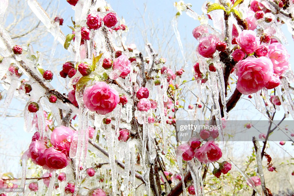 This picture taken on April 8, 2013 shows ice hanging on flowers in a garden in Hami, northwest China's Xinjiang Uygur Autonomous Region. A sharp temperature decrease has hit this area following a strong cold air. CHINA