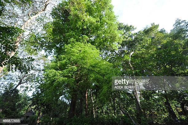 This picture taken on August 12 2013 shows trees at at Amatoa village where the Kajang tribe live in Bulukumba South Sulawesi Deep in a remote forest...