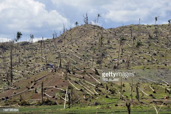 This picture taken on December 11 2012 shows uprooted coconut trees in the mountains of Cateel town Davao Oriental province in the aftermath of...