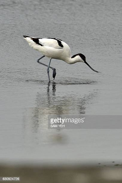 This picture taken on December 22 2016 showing a pied avocet searching for food at the Budai salt fields in Chiayi southern Taiwan The pied avocet...