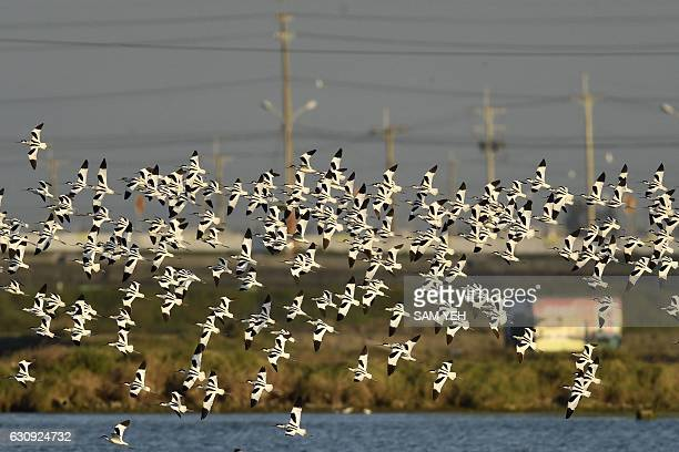 This picture taken on December 22 2016 shows a flock of pied avocets flying above the Budai salt fields in Chiayi southern Taiwan The pied avocet...