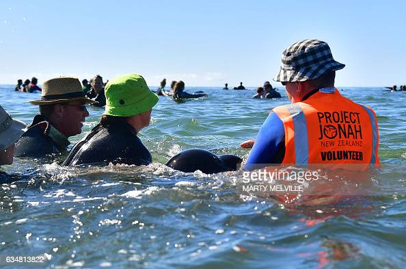 This picture taken on February 11 2017 shows a Project Jonah Volunteer guiding a pilot whale back out to deeper water after a mass stranding at...