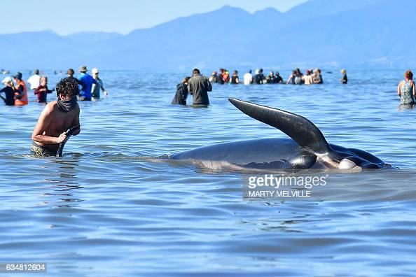 This picture taken on February 11 2017 shows a volunteer bringing a dead pilot whale back to the beach after a mass stranding at Farewell Spit Most...