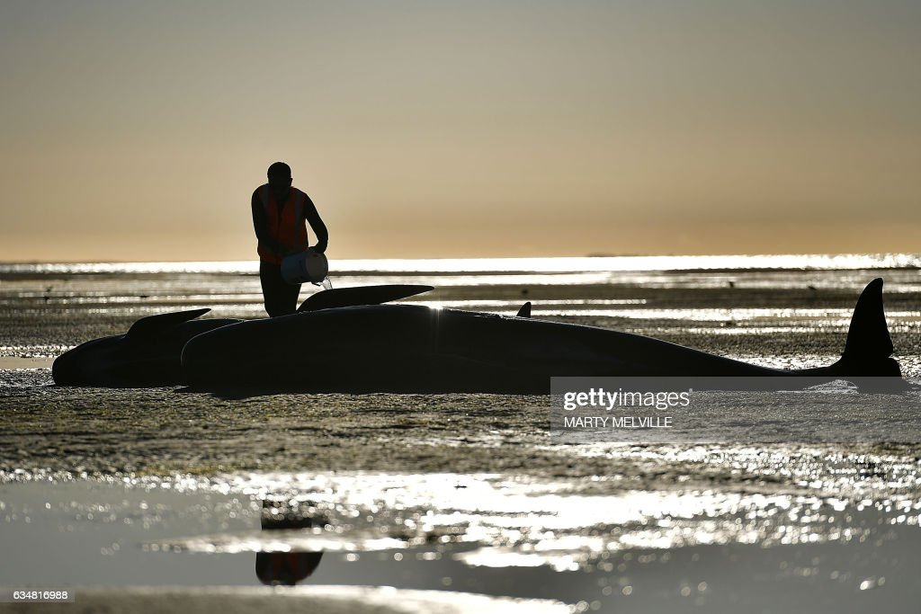 TOPSHOT - This picture taken on February 11, 2017 shows a volunteer caring for a pilot whale during a mass stranding at Farewell Spit. Most of the more than 200 whales who became stranded on New Zealand's notorious Farewell Spit on the weekend have been able to refloat themselves, conservation officials said on February 12. / AFP PHOTO / Marty MELVILLE