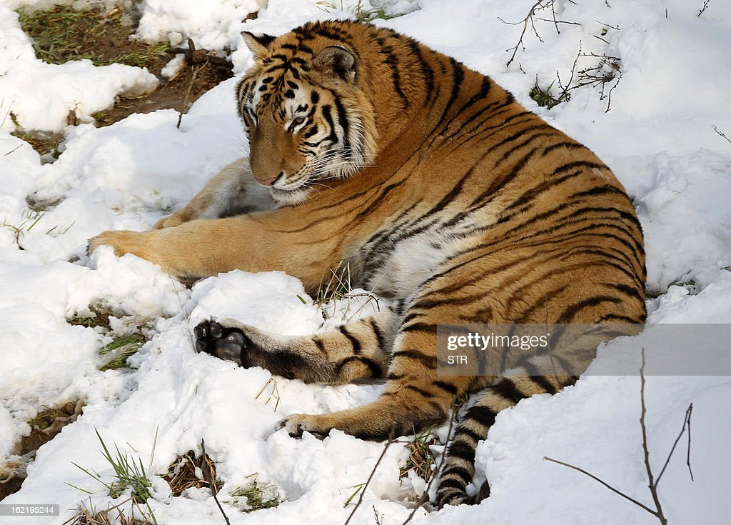 This picture taken on February 19, 2013 shows a Siberian tiger (Panthera tigris altaica) lying on the ground after heavy snow in a zoo in Nanjing, east China's Jiangsu province. Latest figures show there are less than 530 wild Siberian tigers left in the world, with no more than 20 living in China, state media reported. CHINA