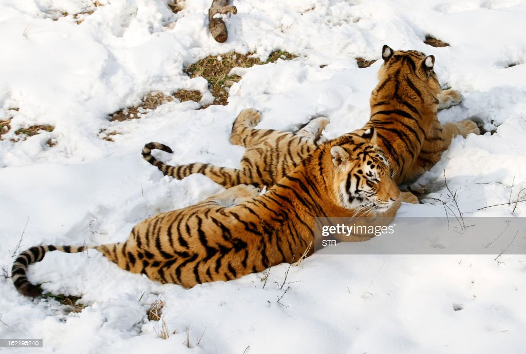 This picture taken on February 19, 2013 shows two Siberian tigers (Panthera tigris altaica) lying on the ground after heavy snow in a zoo in Nanjing, east China's Jiangsu province. Latest figures show there are less than 530 wild Siberian tigers left in the world, with no more than 20 living in China, state media reported. CHINA OUT AFP PHOTO