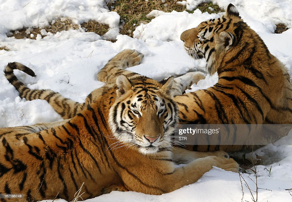 This picture taken on February 19, 2013 shows two Siberian tigers (Panthera tigris altaica) lying on the ground after heavy snow in a zoo in Nanjing, east China's Jiangsu province. Latest figures show there are less than 530 wild Siberian tigers left in the world, with no more than 20 living in China, state media reported. CHINA