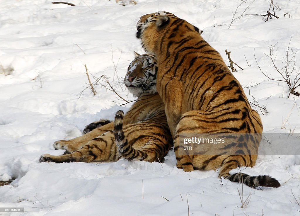 This picture taken on February 19, 2013 shows two Siberian tigers (Panthera tigris altaica) after heavy snow in a zoo in Nanjing, east China's Jiangsu province. Latest figures show there are less than 530 wild Siberian tigers left in the world, with no more than 20 living in China, state media reported. CHINA