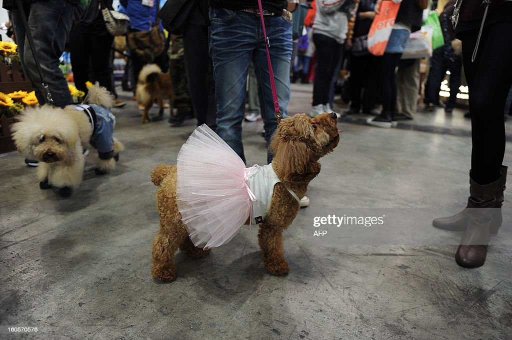 This picture taken on February 2, 2013 shows a leashed dog ( C ) dressed in a ballet tutu at the eighth Hong Kong Pet Show at the Hong Kong Convention and Exhibition Centre. Hong Kong has the second highest pet market in Asia, falling behind Japan, according to a statement released by the organisers of the pet show, which runs from February 1-3.