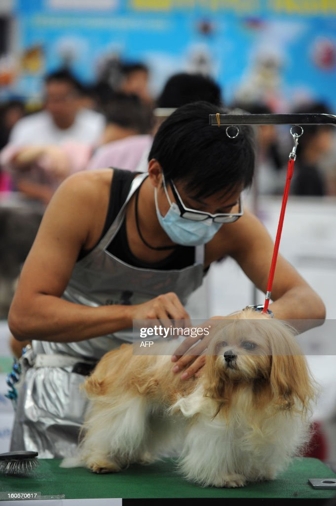 This picture taken on February 2, 2013 shows a man grooming a Havanese dog at the eighth Hong Kong Pet Show at the Hong Kong Convention and Exhibition Centre. Hong Kong has the second highest pet market in Asia, falling behind Japan, according to a statement released by the organisers of the pet show, which runs from February 1-3.