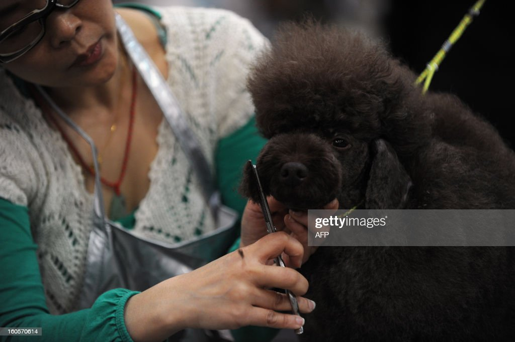This picture taken on February 2, 2013 shows a woman grooming a poodle dog at the eighth Hong Kong Pet Show at the Hong Kong Convention and Exhibition Centre. Hong Kong has the second highest pet market in Asia, falling behind Japan, according to a statement released by the organisers of the pet show, which runs from February 1-3.