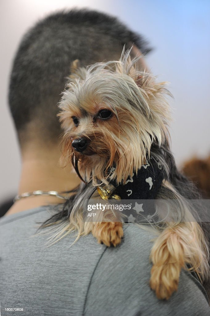 This picture taken on February 2, 2013 shows a Yorkshire Terrier dog being carried by its owner on his shoulder at the eighth Hong Kong Pet Show at the Hong Kong Convention and Exhibition Centre. Hong Kong has the second highest pet market in Asia, falling behind Japan, according to a statement released by the organisers of the pet show, which runs from February 1-3.