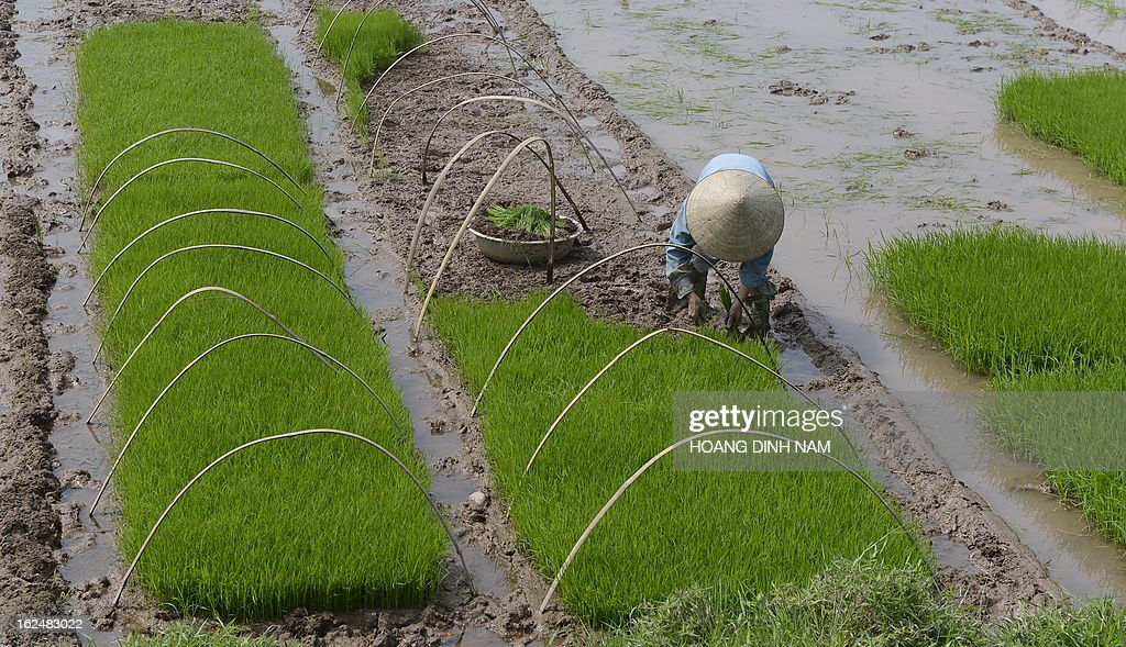 This picture taken on February 23, 2013 shows a farmer planting rice on a field on the outkirts of Hanoi. Up to 70 percent of Vietnam's nearly 90 million population are farmers whose living depends largely on their traditional rice growing. AFP PHOTO/HOANG DINH Nam